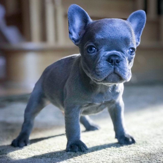 the many colors of the french bulldog   petshotspot