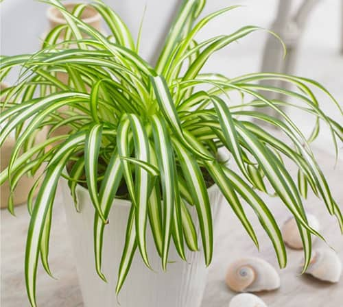 Air Purifying Spider Plant