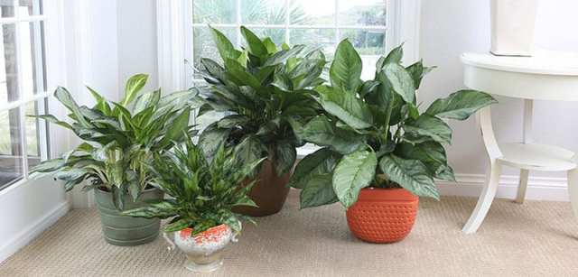 Air Purifying Chinese Evergreen Plant
