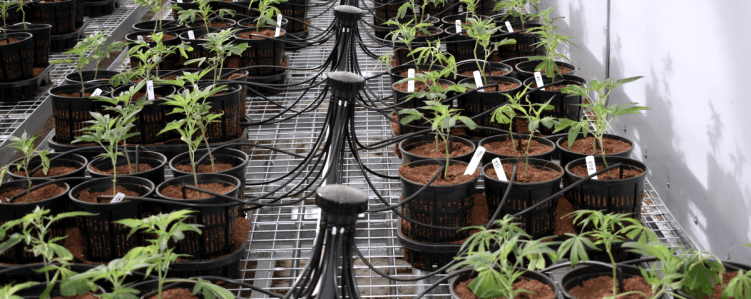 Healthy Hemp Drip Irrigation Manifold Systems