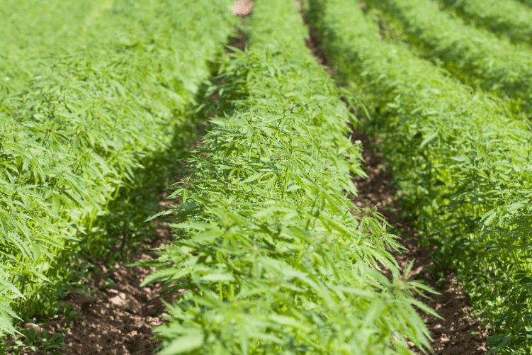 Healthy Hemp Crop Irrigation
