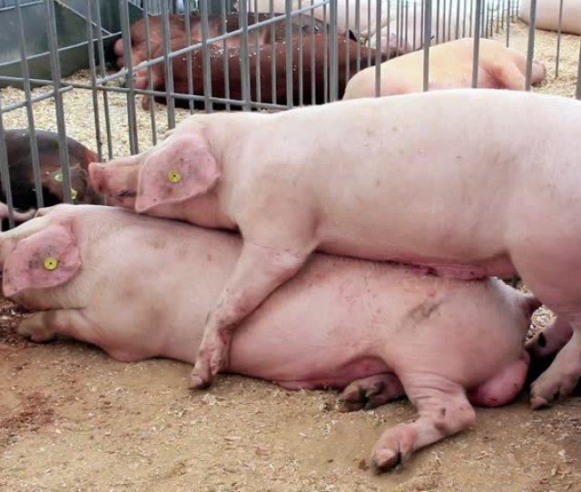 Sex Piggs Animal Sex Woman And The Pig Pornscum Free Porn