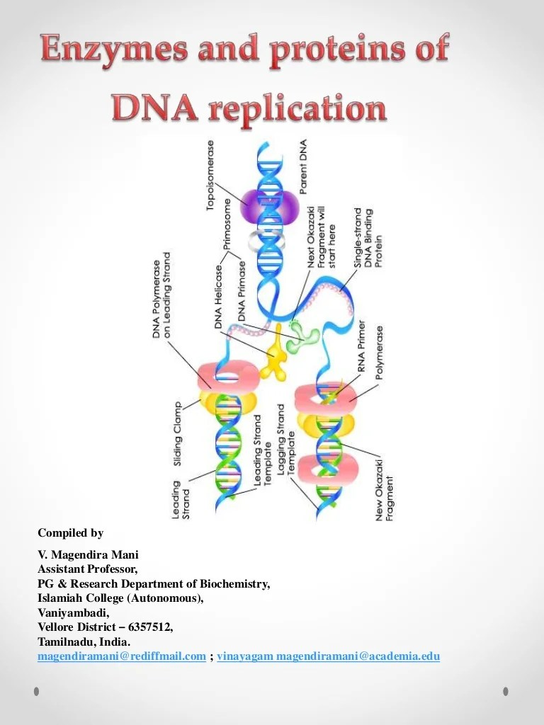 Replication Proteins Dna