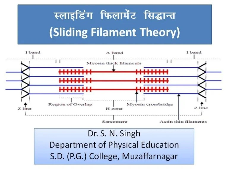 Sliding filament theory by Dr S N Singh