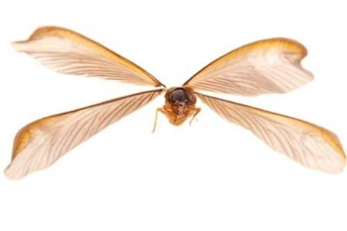 Flying Termite Wings