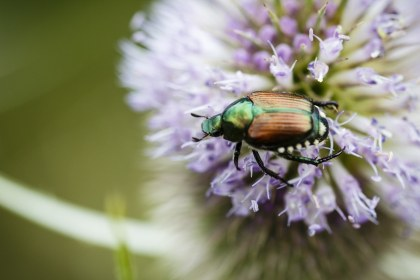 japanese beetle on flower image