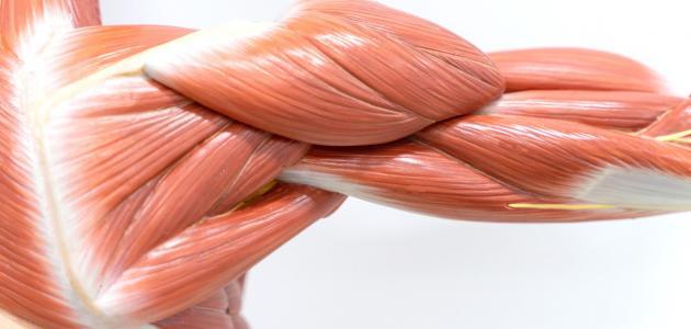 أنواع العضلات في جسم الإنسان سطور
