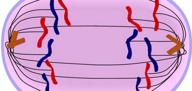كيفية انقسام الخلية النباتية سطور