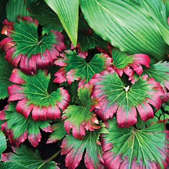 Crimson Fans Mukdenia On Sale At Spring Hill Nursery