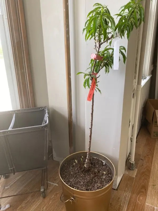 bonanza patio peach tree