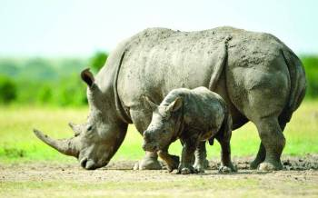 KWS: No rhino was poached in 2020