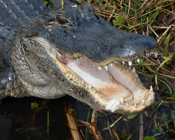 Godzilla is Going Postal: 7-Foot Alligator Sneaks Into Florida Post Office, Shocking A Customer
