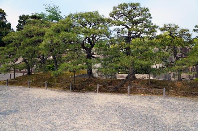 Ini pohon apaan sih? Banyak saya temui ketika berkeliling Kastil Nijo.