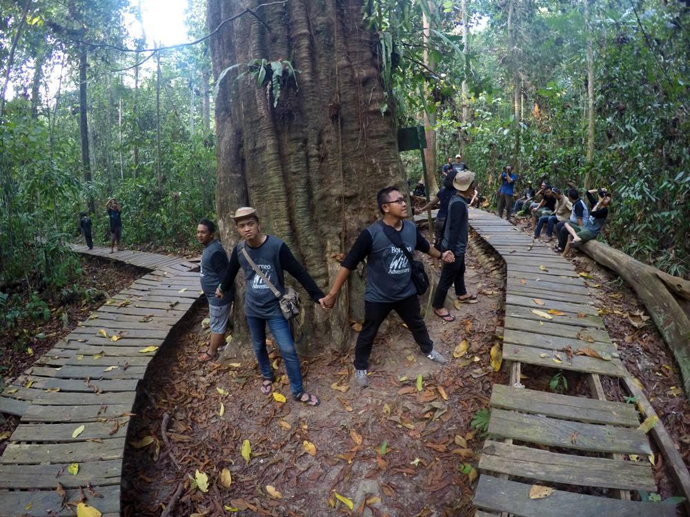 Kayu Ulin raksasa berumur 1000 tahun di Taman Nasional Kutai