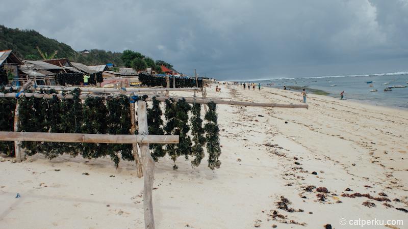 Rumput laut sedang dikeringkan untuk kemudian dijual.