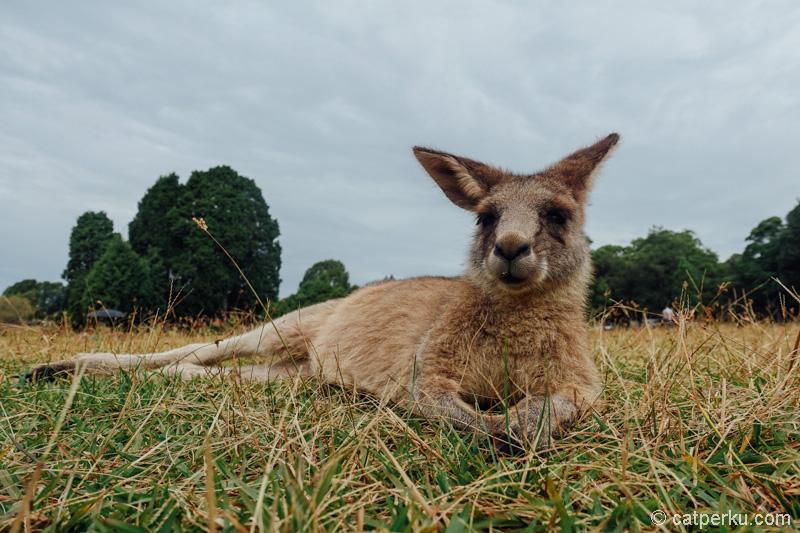 Sampai ketemu lagi yang kang! Kanguru maksudnya~