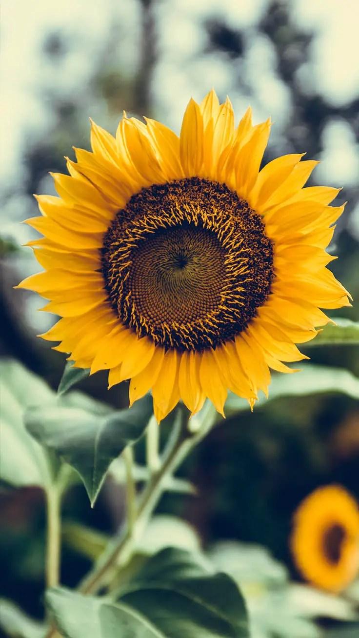 Wallpaper Sunflower