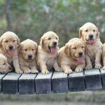 Golden Retriever Puppies Wallpaper Animal Wallpapers 48522