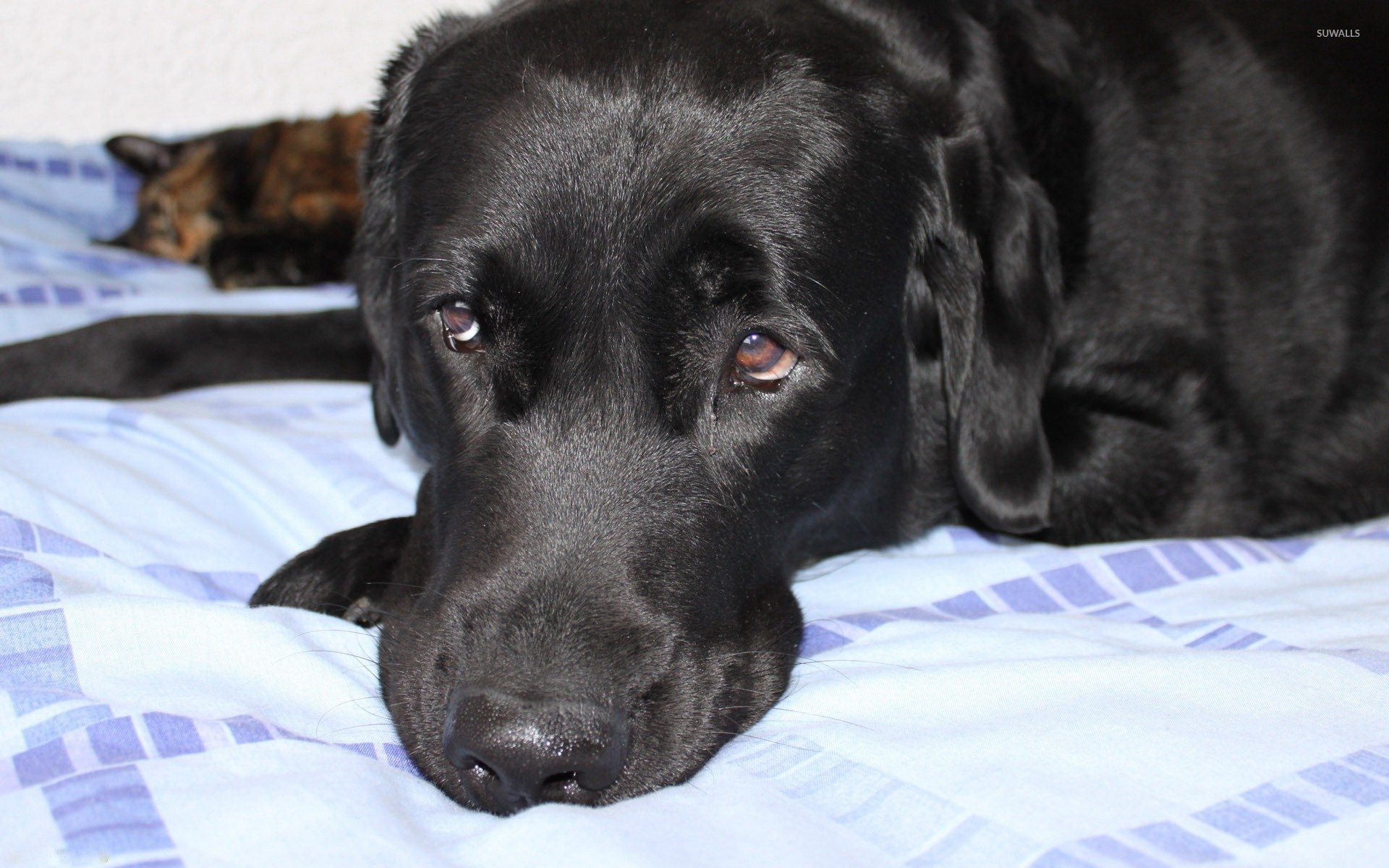sad black dog resting on the bed wallpaper - animal wallpapers