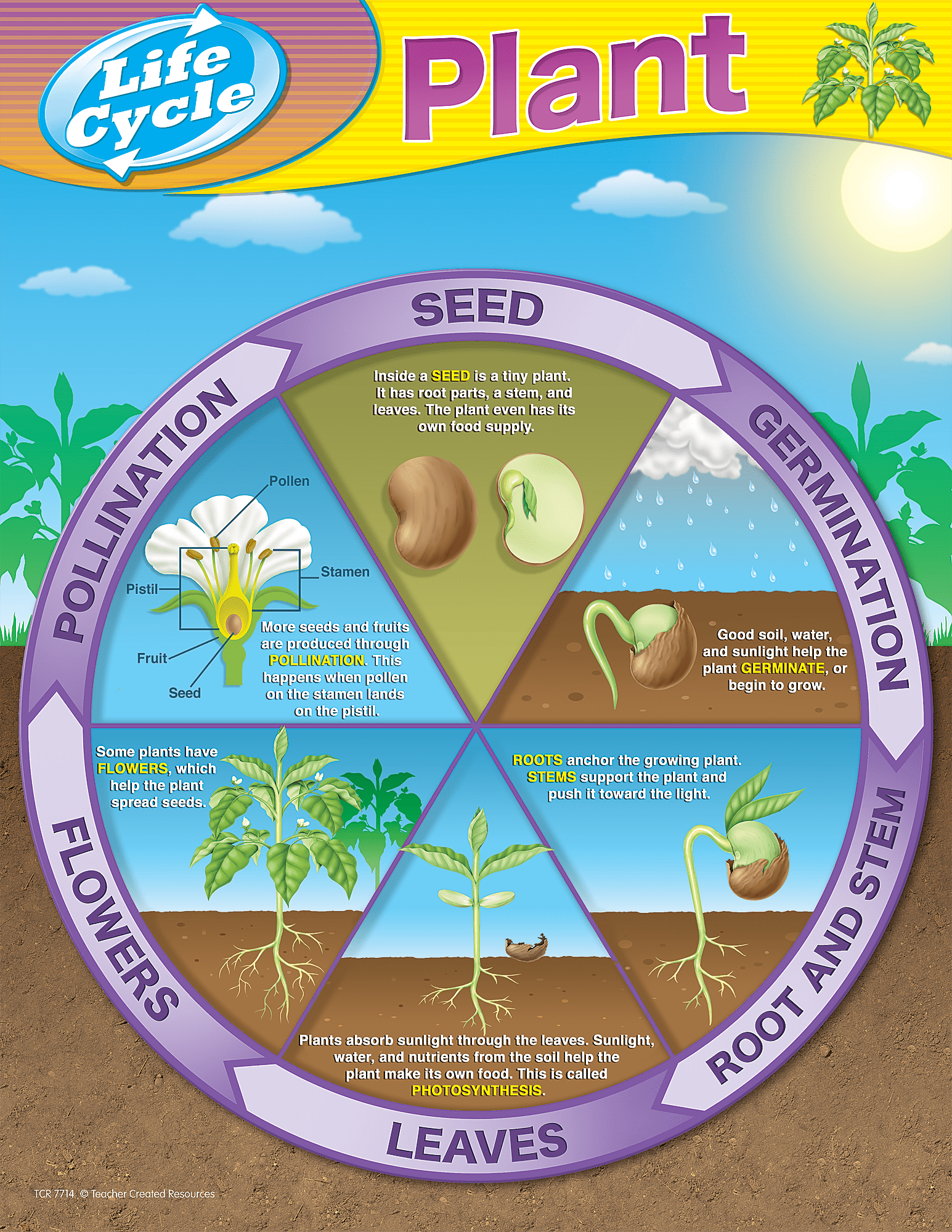 Flowering Plant Life Cycle Diagram Ks2
