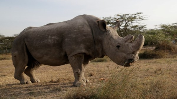 Image result for sudan the white rhino