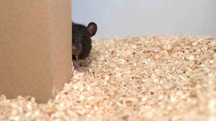 Scientists Taught Rats To Play Hide And Seek The Atlantic