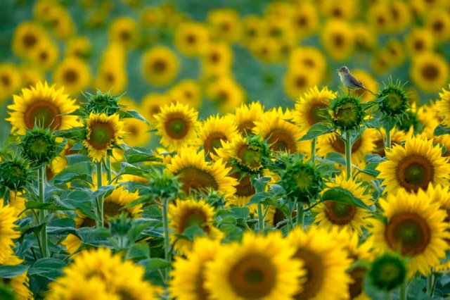 A small songbird rests atop a sunflower among hundreds of other sunflowers.