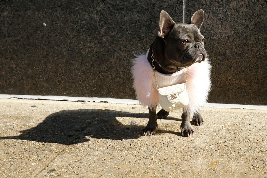 A small dog wearing a pink fur coat and a white bag around its neck stands on a sidewalk.