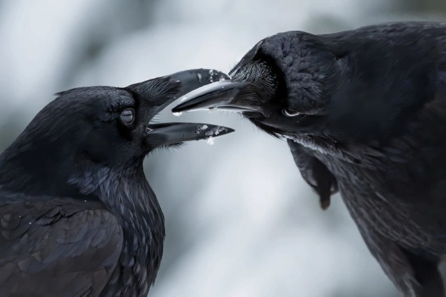Two ravens interact with their beaks.