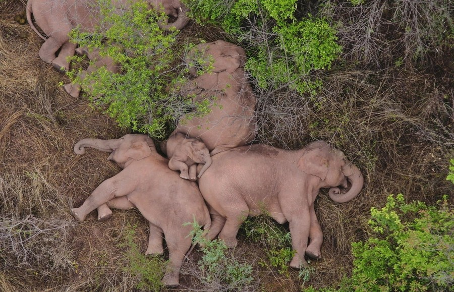 A small herd of elephants rests together.