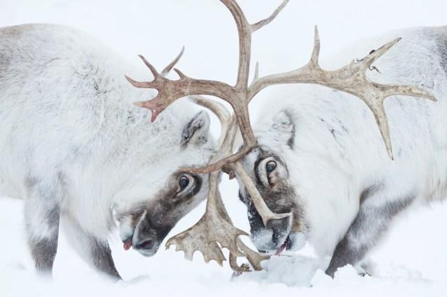 Two reindeer battle head-to-head, their antlers entangled.