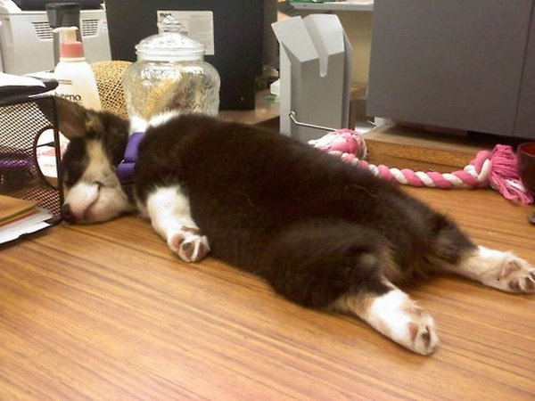 https://i2.wp.com/cdn.thebarkpost.com/wp-content/uploads/2014/03/cute-sleeping-corgi-puppy.jpg