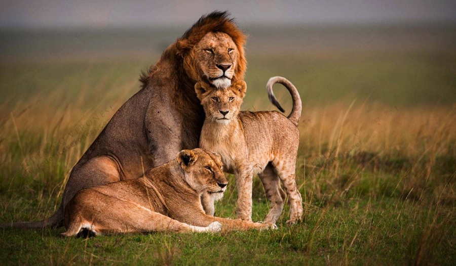 Shutterbugs Exposed  Photography Jobs From Around The World View in gallery The Royal Family Masai Mara Kenya Federico Veronesi The  Coolist Shutterbugs Exposed  Photography Jobs From