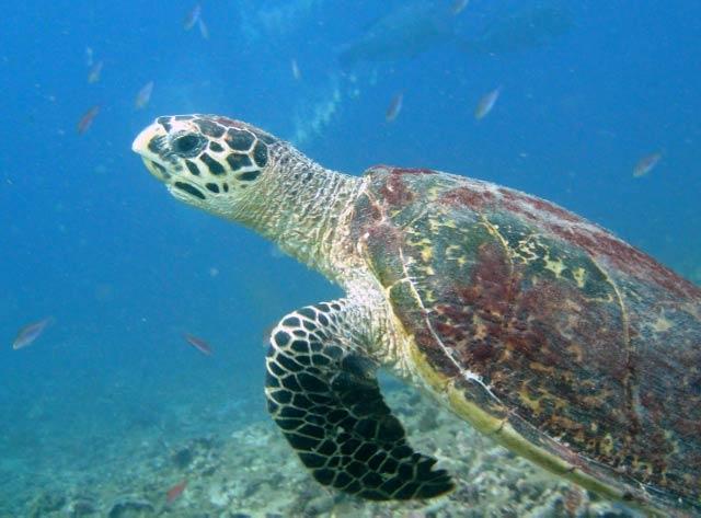 Hawksbill Turtle on Pom Pom Island, Malaysia I © Profmauri/WikiCommons