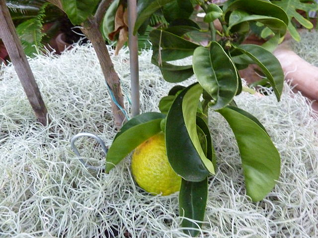 Sour orange, Citrus aurantium 'Bouquet des fleurs | © James Steakley/WikiCommons