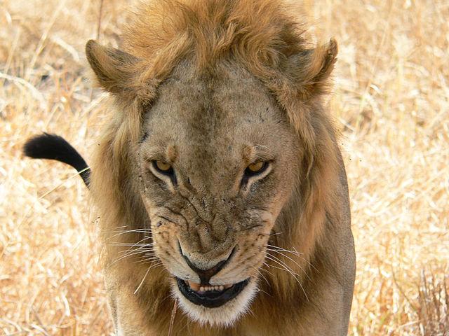 Snarling lion | © Aurelio Arias/WikiCommons