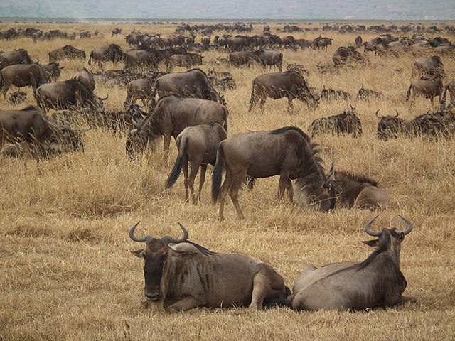 Wildebeest Connochaetes taurinus | © Nevit Dilmen /WikiCommons