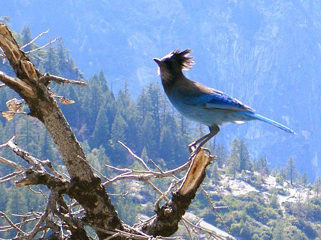 A Stella's Jay in Yosemite, California, USA | © Urban/WikiCommons