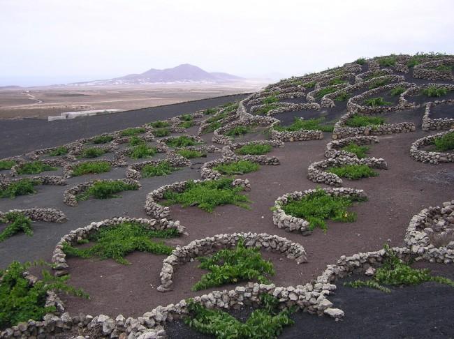 La Geria vines   © Yummifruitbat/WikiCommons