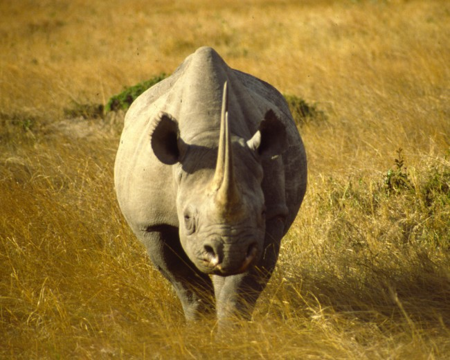 A black rhino in the Kenyan plains | ©redmozzie/ Flickr