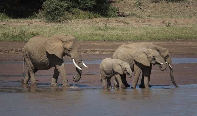 A herd of elephants drinking water, Kenya| © 68325574@N02, / Flickr