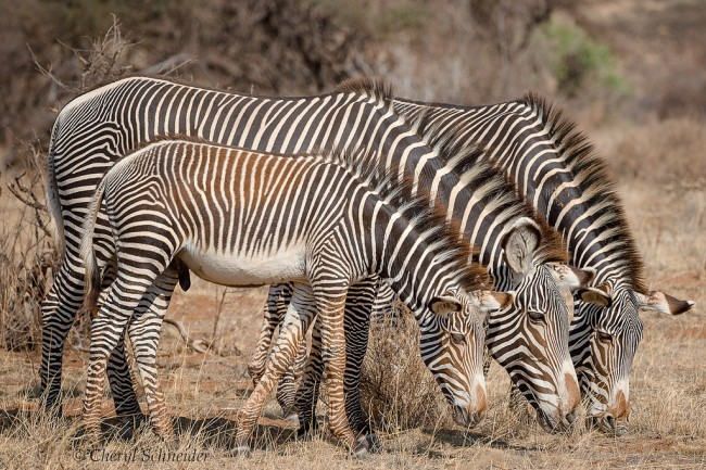 Grevy's zebras| © 130222221@N05 / Flickr