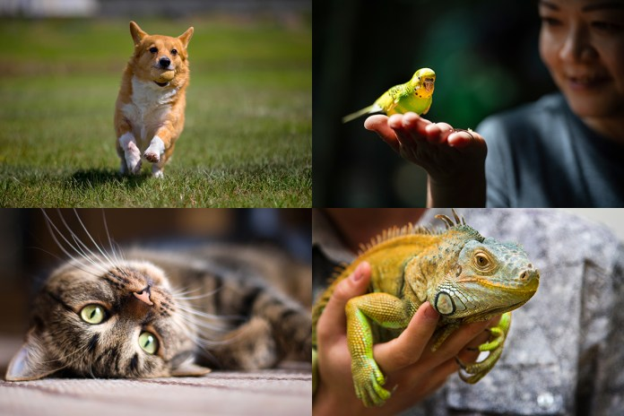 (clockwise) A dog runs, a person holds a parakeet, a person holds an iiguana, a cat lays on its back