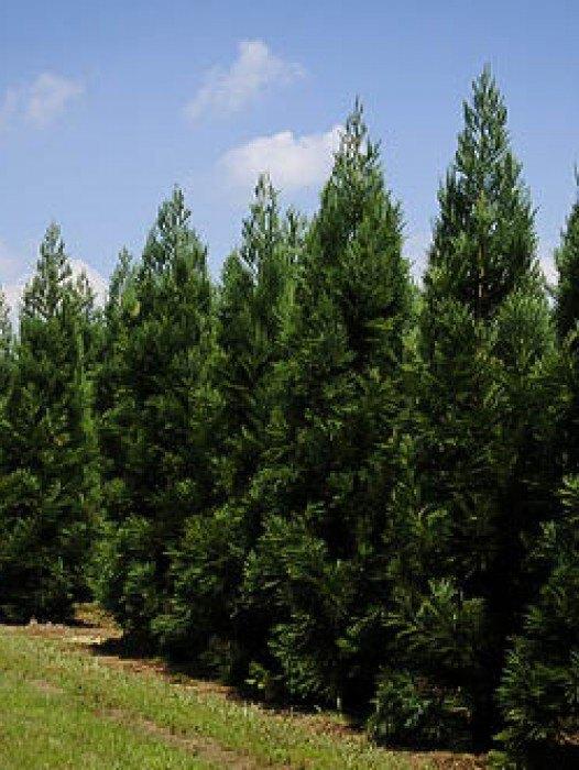 Evergreen Trees Buy Evergreen Trees Online The Tree Center