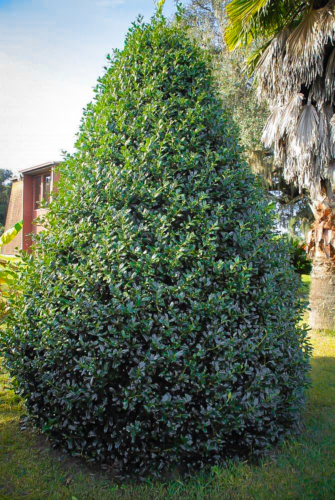 Robin Holly For Sale Online The Tree Center