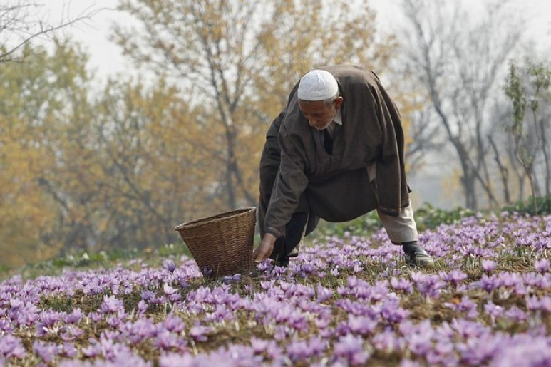 In 2010, Center approved Rs 371 crore for the National Saffron Missionaimed at revival and rejuvenation of saffron in the Valley. Credit: Reuters