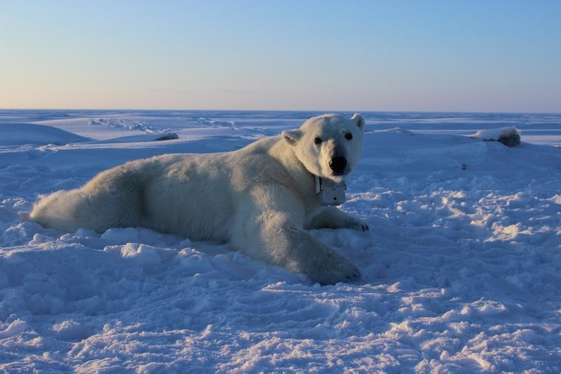 Climate change diet: As Arctic sea ice thins, so do polar bears