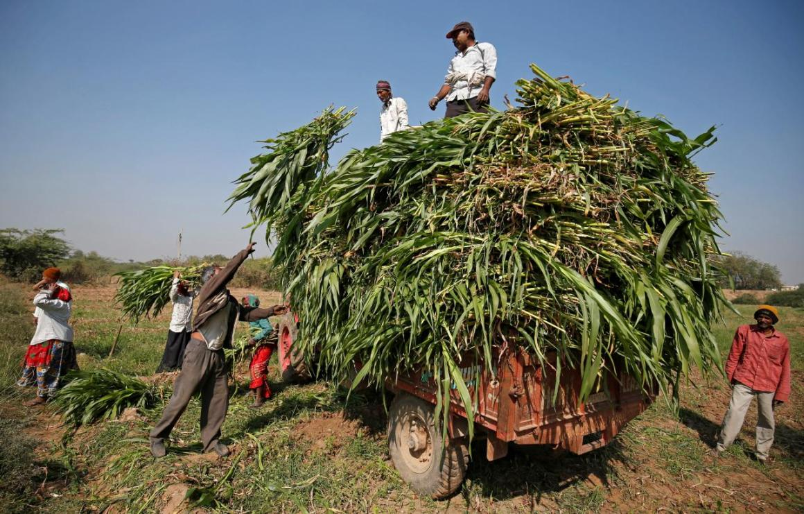Farmers load fodder onto a tractor in a field at Kolat Village on the outskirts of Ahmedabad, India January 27, 2018. Credit: Reuters/Amit Dave