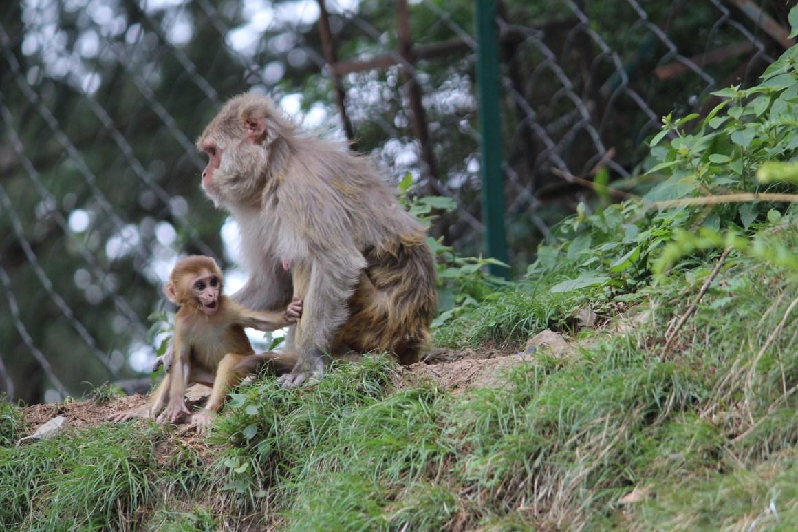 Two rhesus macaques in Shimla. Credit: SandeepHanda/pixabay