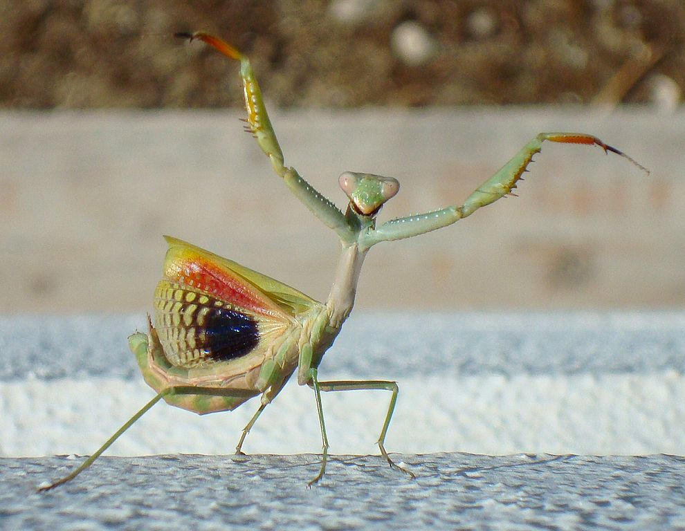 An adult female mantis performs a bluffing threat display, rearing back with the forelegs and wings spread and mouth opened. Credit: CaPro/Wikimedia Commons, CC BY-SA 3.0